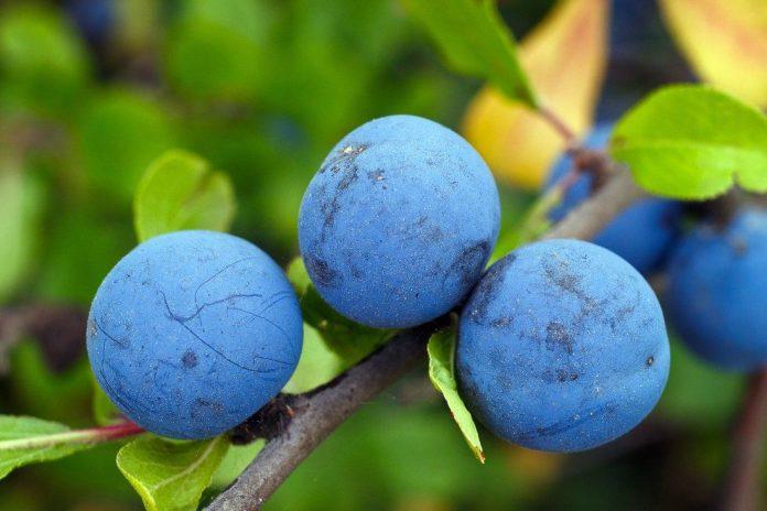 Šljiva voćka koja rađa u Srbiji